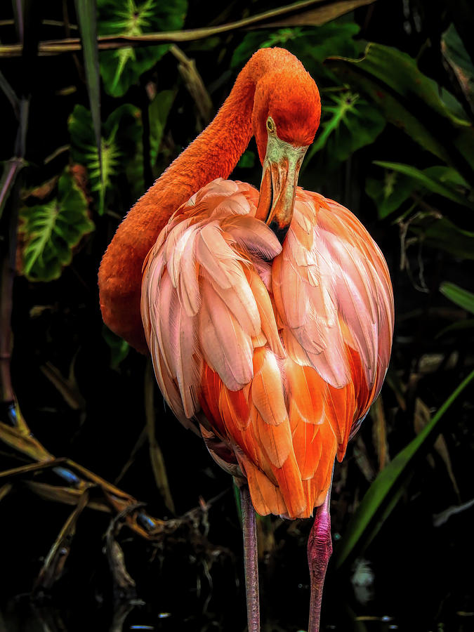 Flamingo Ruffles Some Feathers by Robert Stanhope