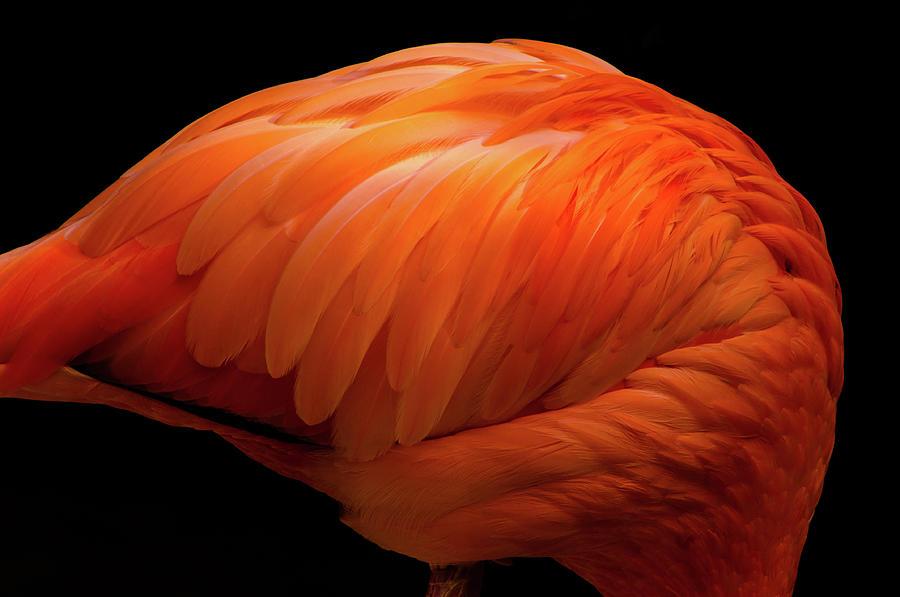 Flamingo Vermilion Photograph by Akihiro Takemasa
