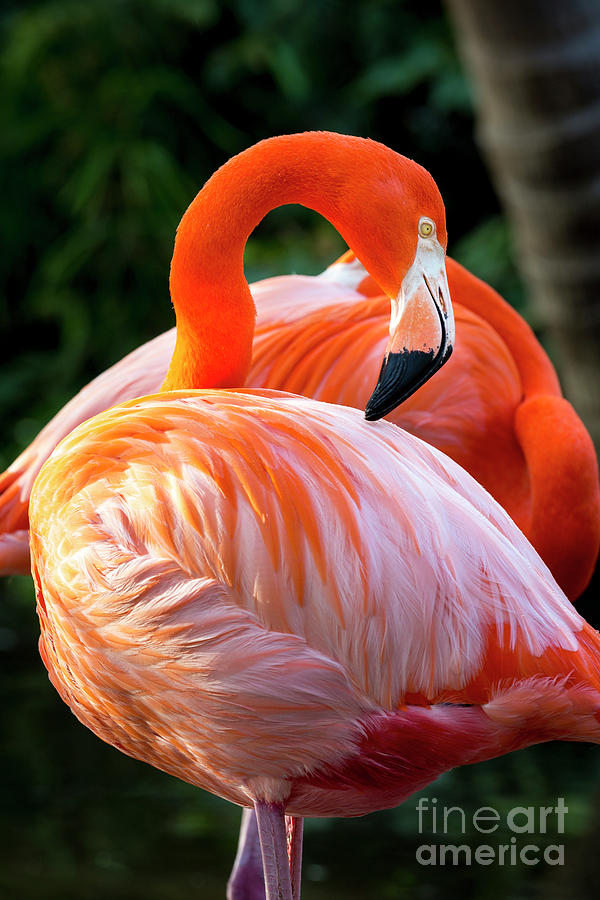 Flamingo VII by Brian Jannsen