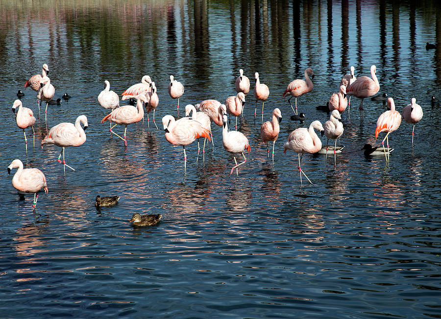 Flamingo Photograph - Flamingos by Alina Avanesian