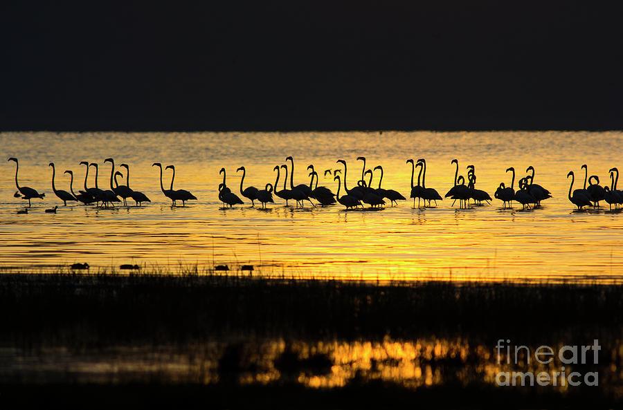 Flamingos At Dawn Photograph by Wldavies