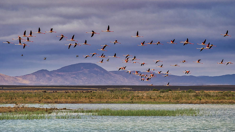 Flamingos in Flight - Morocco by Stuart Litoff