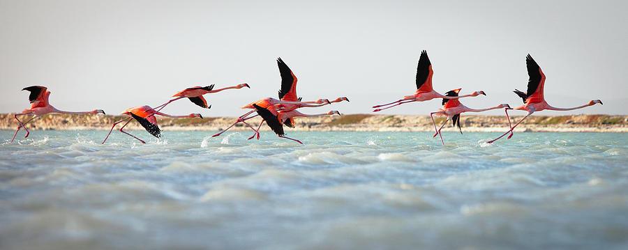 Flamingos Taking Flight Photograph by Justin Lewis