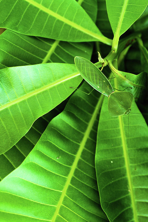 Flat Green Leaf Mantis Panama Photograph by Art Wolfe