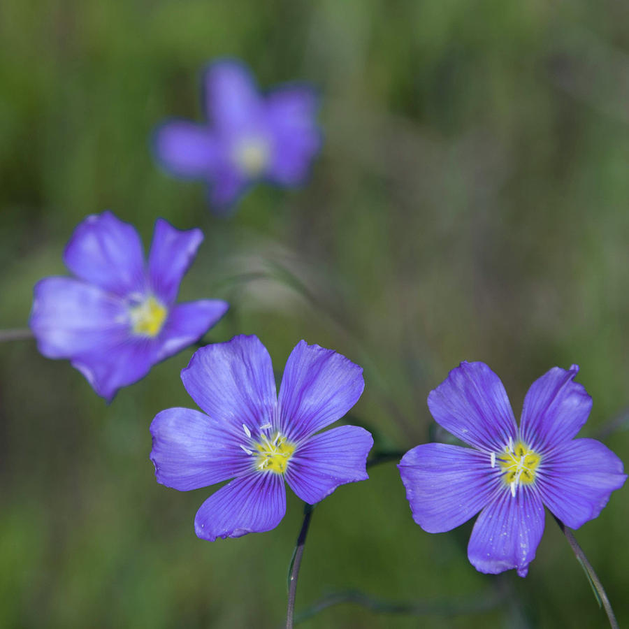 Flax Photograph - Flax Wildflowers by Cascade Colors