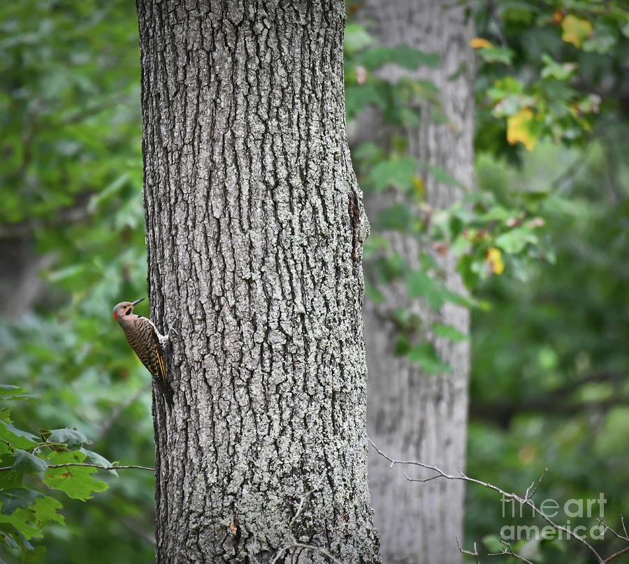 Flicker In The Forest - Northern Flicker by Kerri Farley