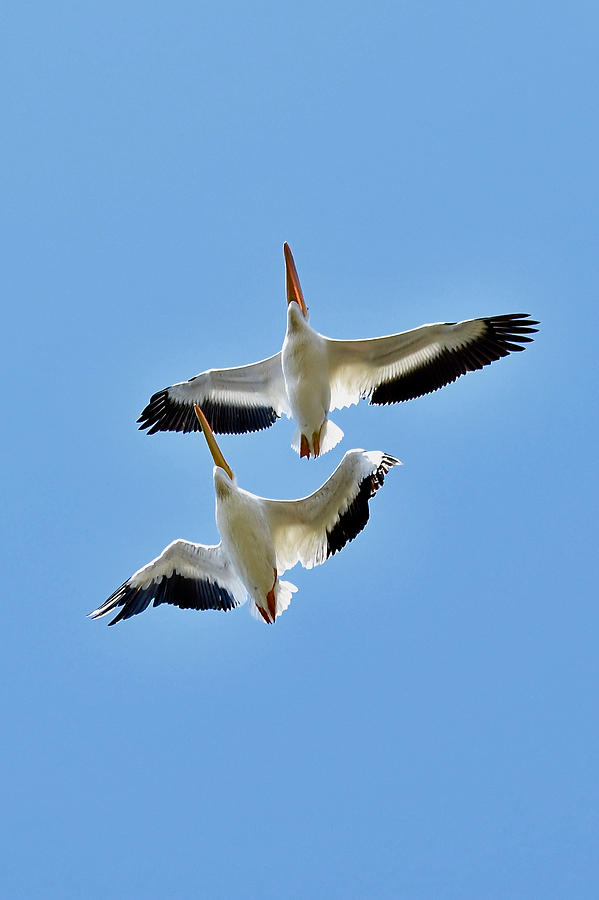 Flight of the American white pelicans 8310 by Michael Peychich