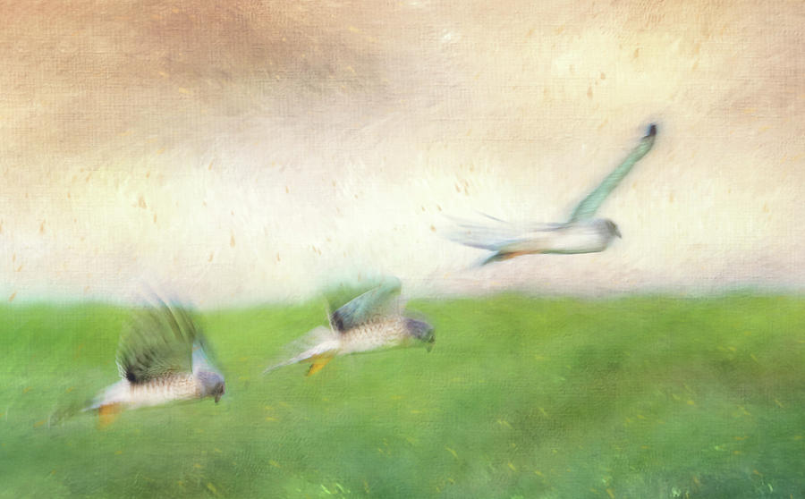 Flight of the Harrier by Tracy Munson