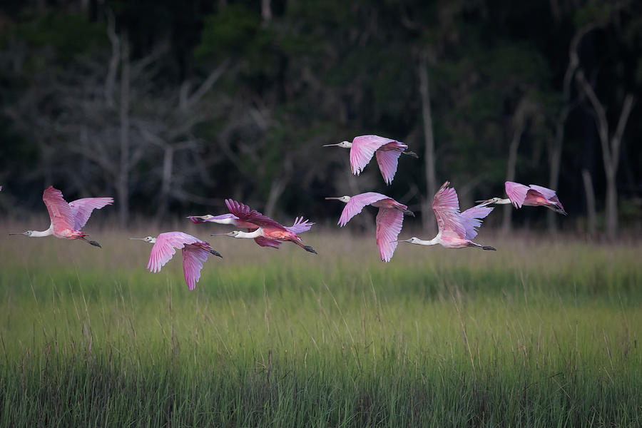 Flight of the spoonbills by Kenny Nobles