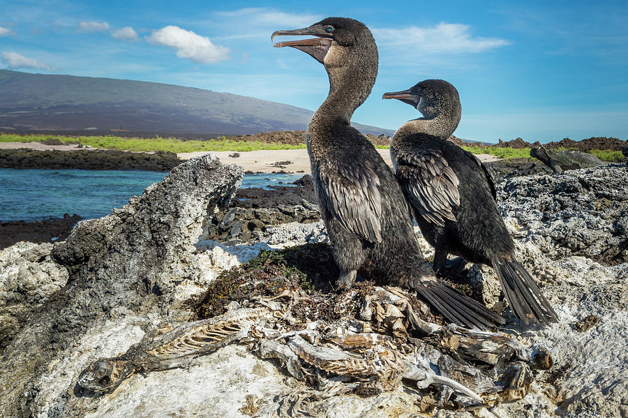 Flightless Cormorants, Galapagos Photograph by Tui De Roy