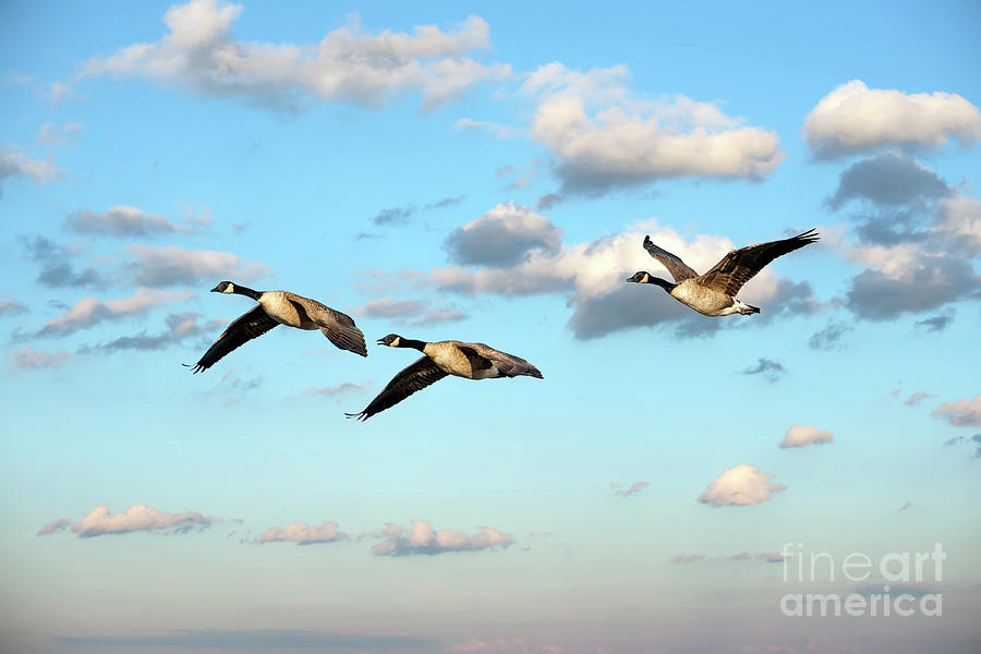 Flock of Canada Geese Flying in the clouds near sunset by Patrick Wolf