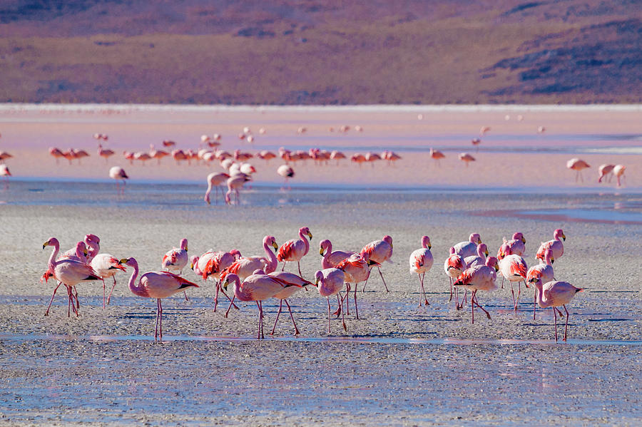 Flock Of Flamingos At Salt Flats In Photograph by Holgs