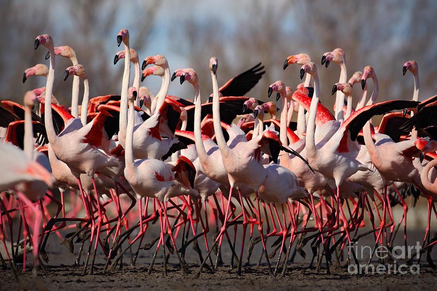Big Photograph - Flock Of  Greater Flamingos by Ondrej Prosicky