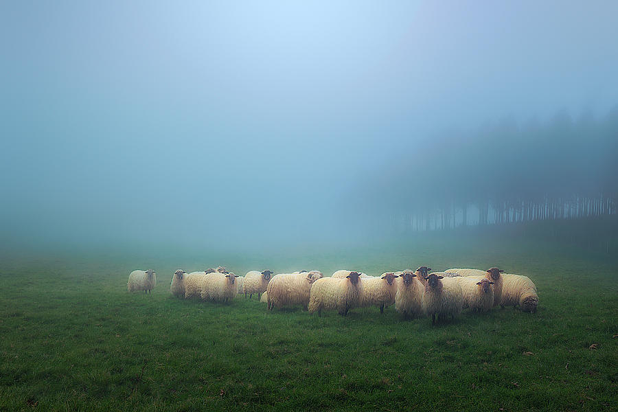 flock of sheep  by Mikel Martinez de Osaba