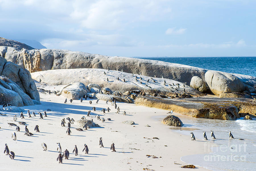Beauty Photograph - Flock Of Small African Penguins At by Allen.g
