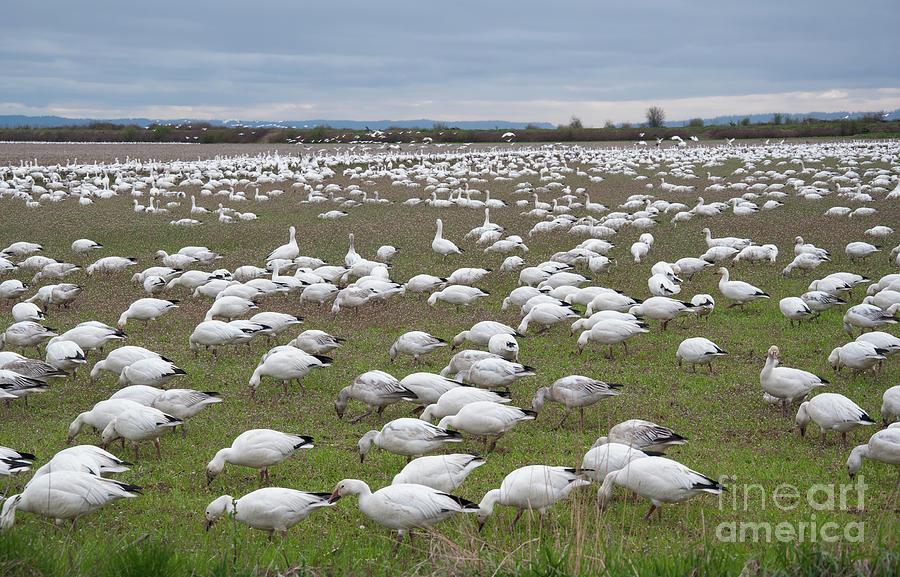 Flock of Snow Geese Feeding in Field by Valerie Garner