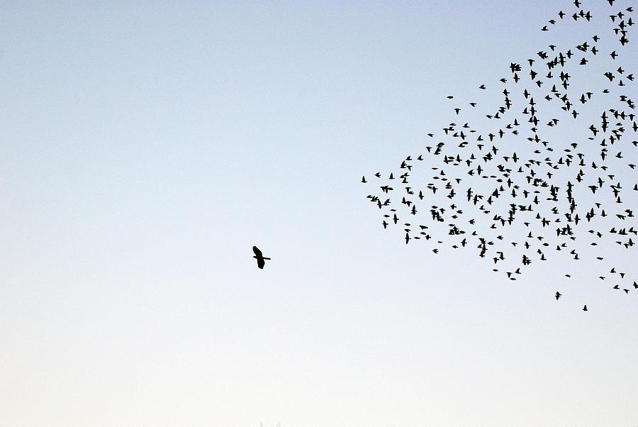 Flock Of Sturnus Vulgaris Flying Photograph by Fotofalk