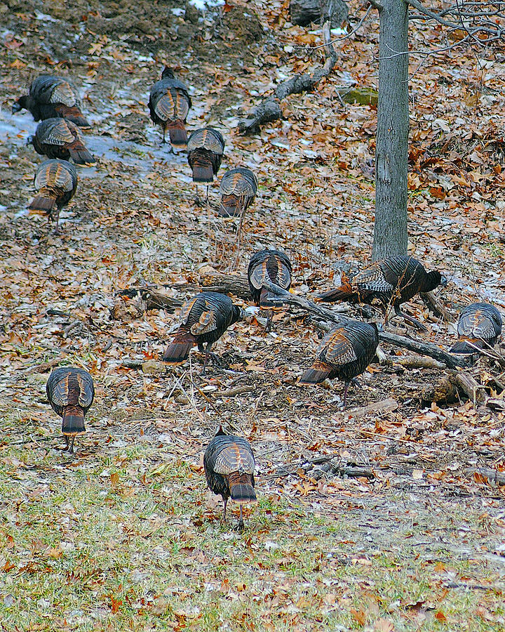 Flock of Turkeys by Don Wolf