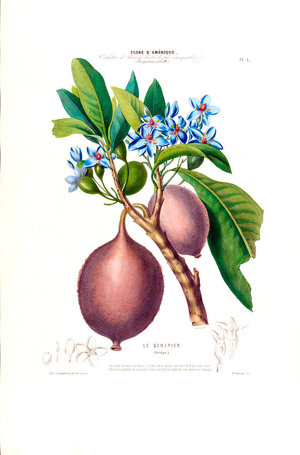 Flore D' Amerique Botanical Le Geniper  by Vintage Botanical Gallery