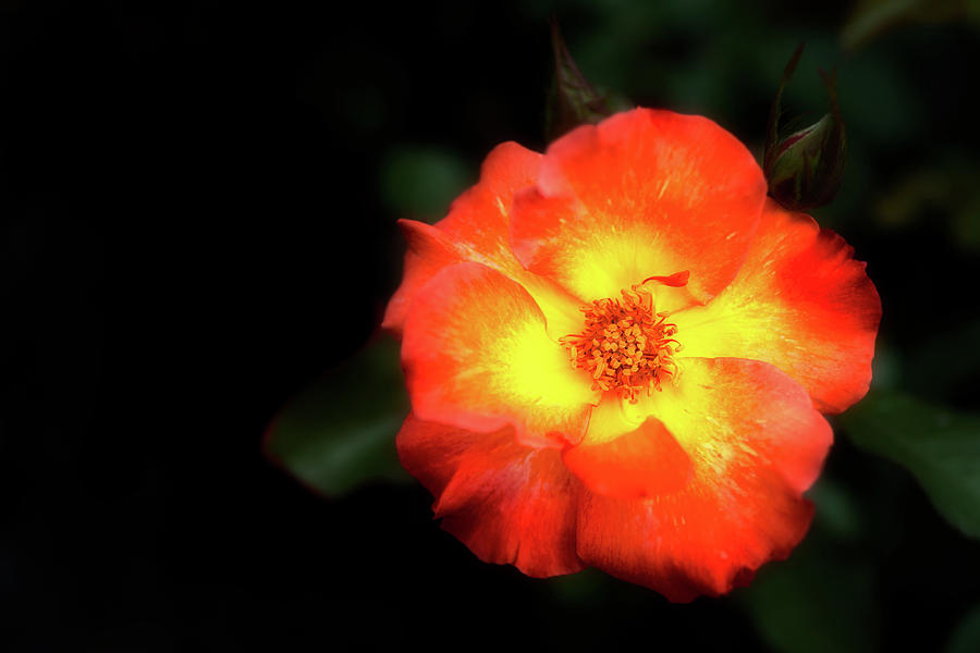 Floribunda Livin Easy by Cyndy Doty