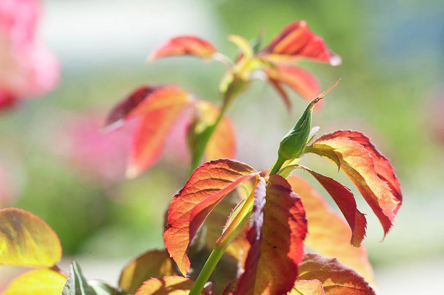 Floribunda Rose Perfect Pet bud by Jenny Rainbow