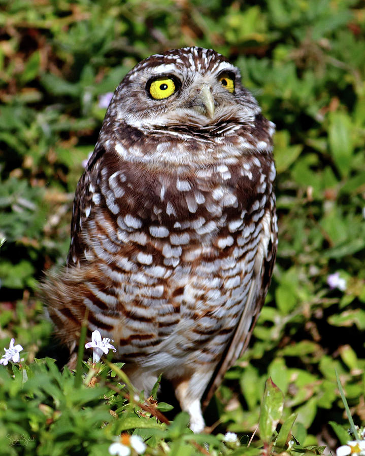 Florida Burrowing Owl by Suzanne Stout
