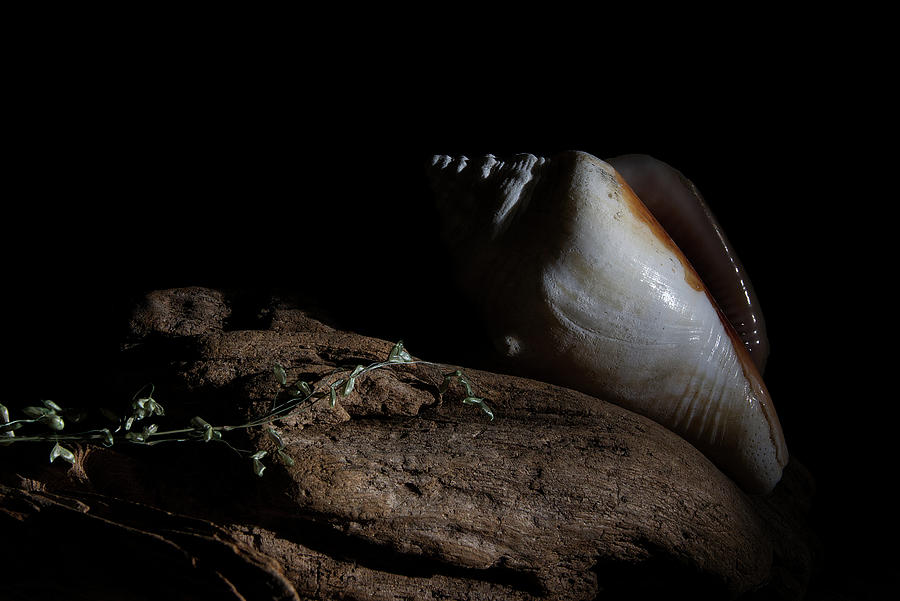 Florida Cone Shell on Driftwood by Richard Rizzo