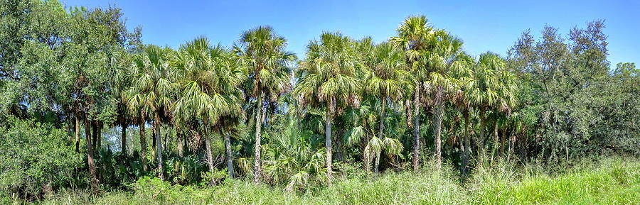 Florida palm and pines by Gene Bollig