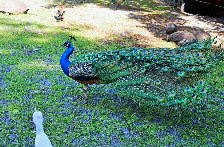 Florida Peacock by Michiale Schneider