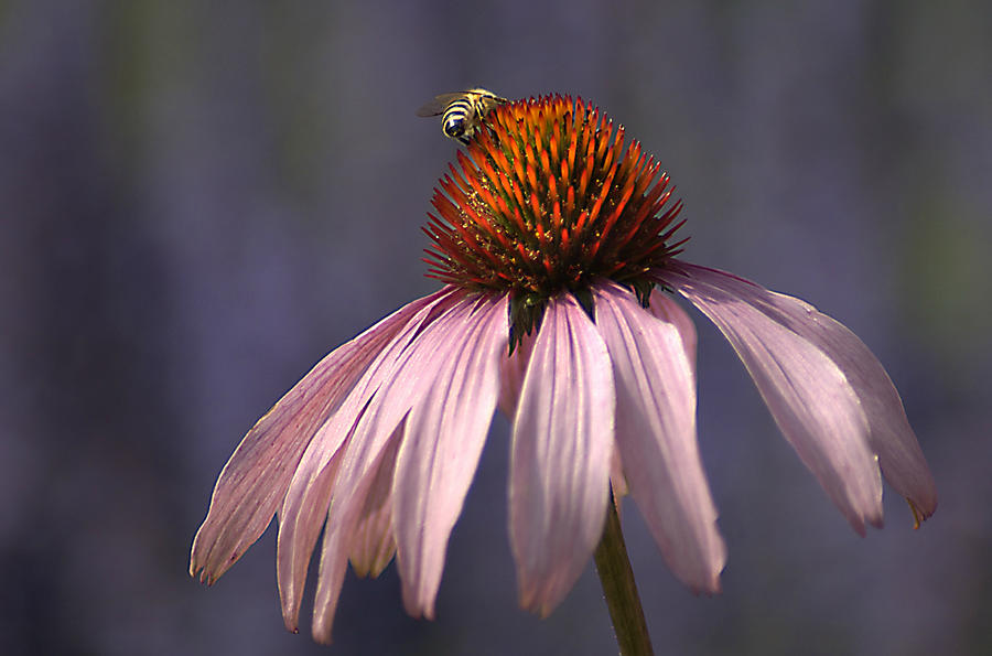 Flower And  Bee Photograph by Bob Van Den Berg Photography