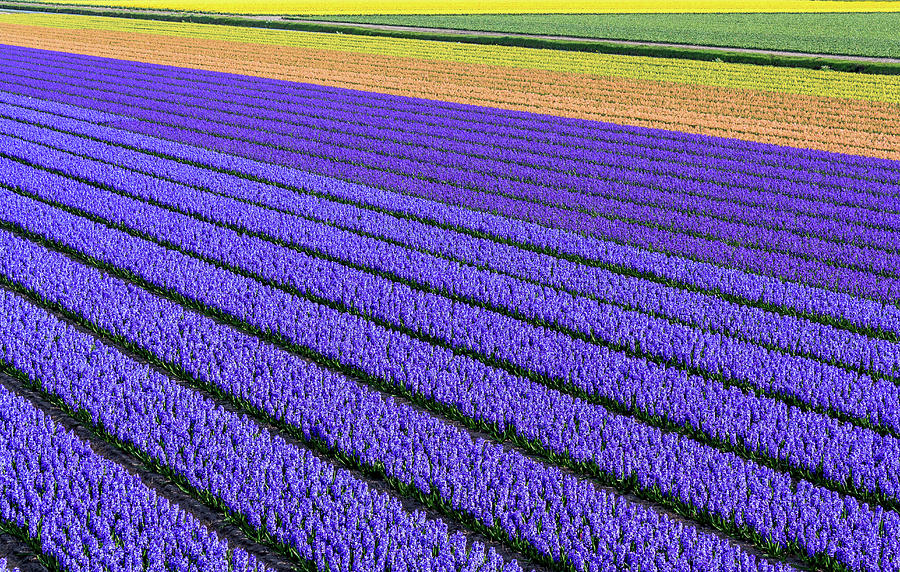 Flower Fields In Spring In Holland Photograph by Frans Sellies