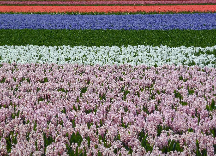 Flower Fields In The Netherlands Photograph by Frans Sellies