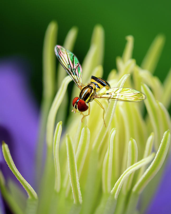 Flower Fly on Clematis stamens by Robert FERD Frank
