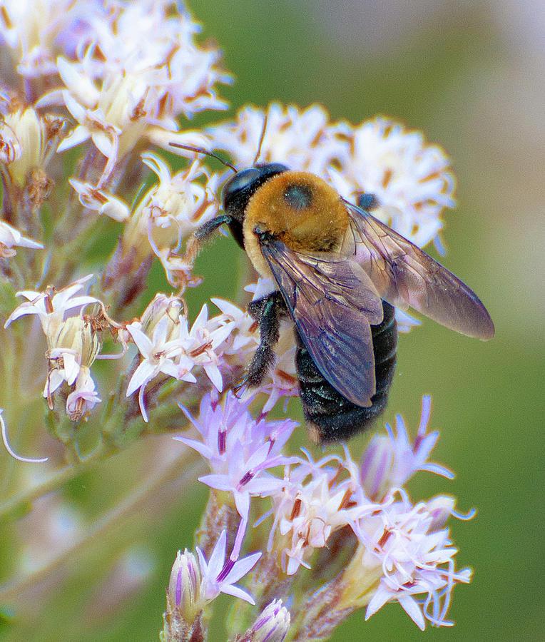 Flower fly on lavender color flower by Gene Bollig