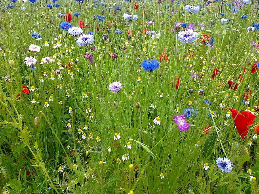 Flower Meadow by Elizabeth Lock