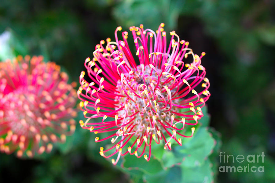 Flowerhead Photograph - Flowerhead Of A Hakea - Australian by Cloudia Spinner