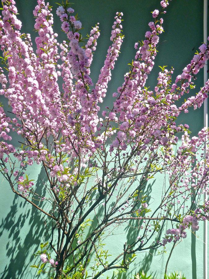 Flowering Almond by Ellen Paull