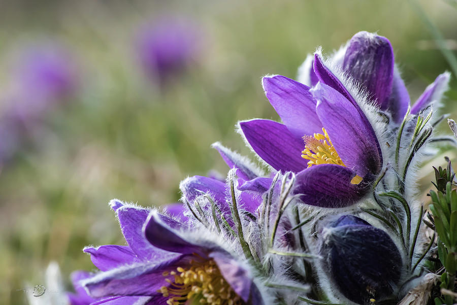 Flowering Anemone Pulsatilla Photograph