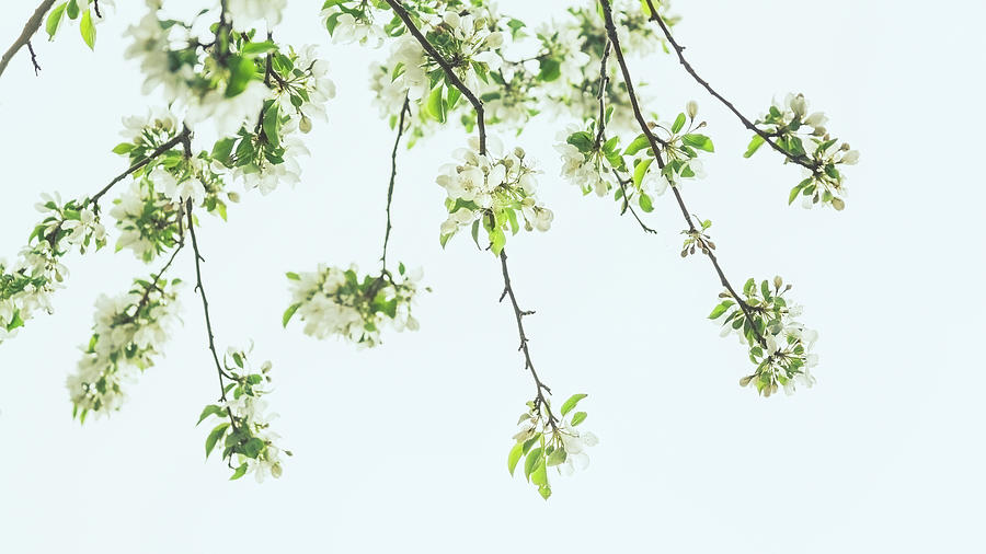 Flowering Branches by Jeanette Fellows