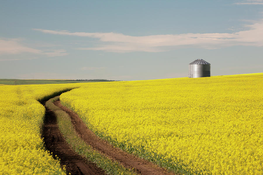 Flowering Canola With Grain Bins In The Photograph by Michael Interisano / Design Pics