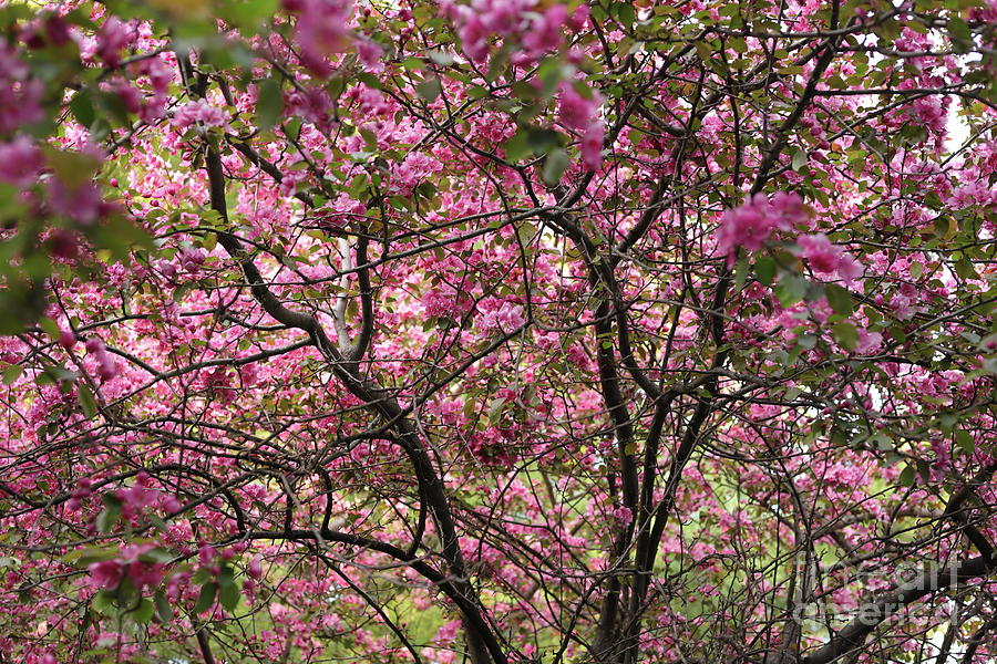 Flowering Crab Apple Tree In Full Bloom Photograph By Cassandra