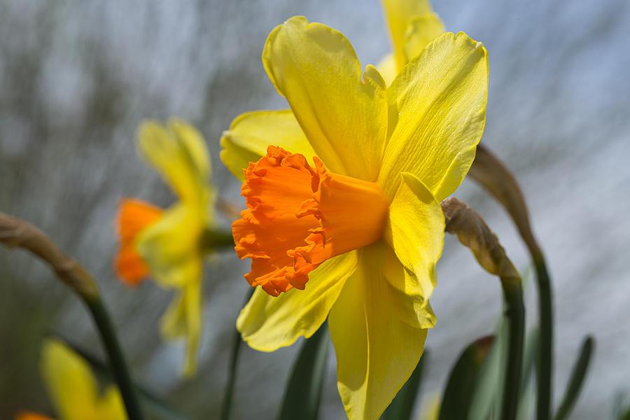 Flowering daffodil by Lynn Hopwood