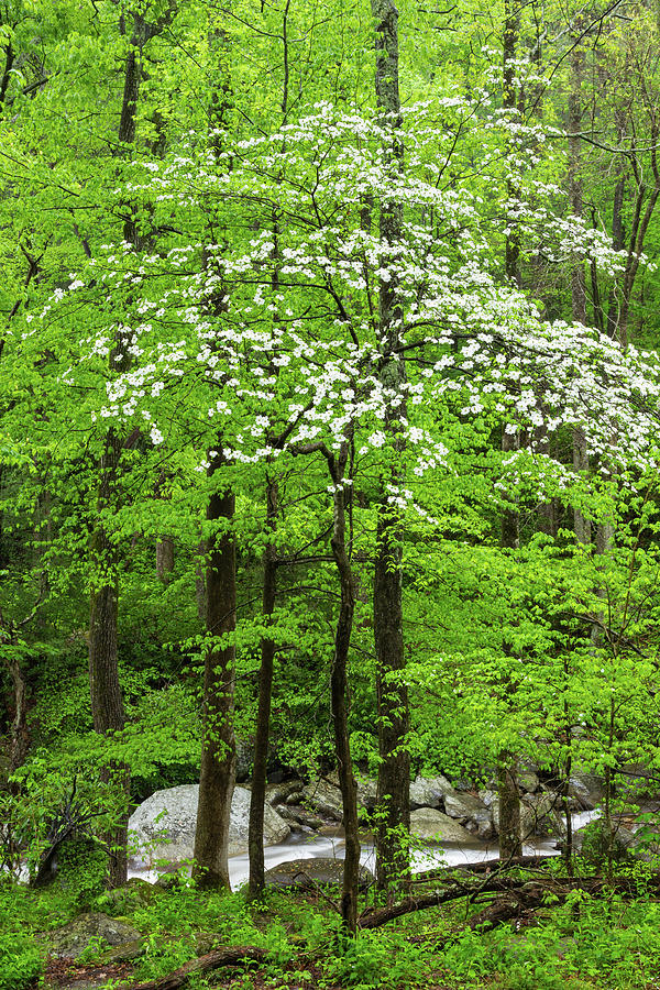 Flowering Dogwood Tree Photograph by Kencanning