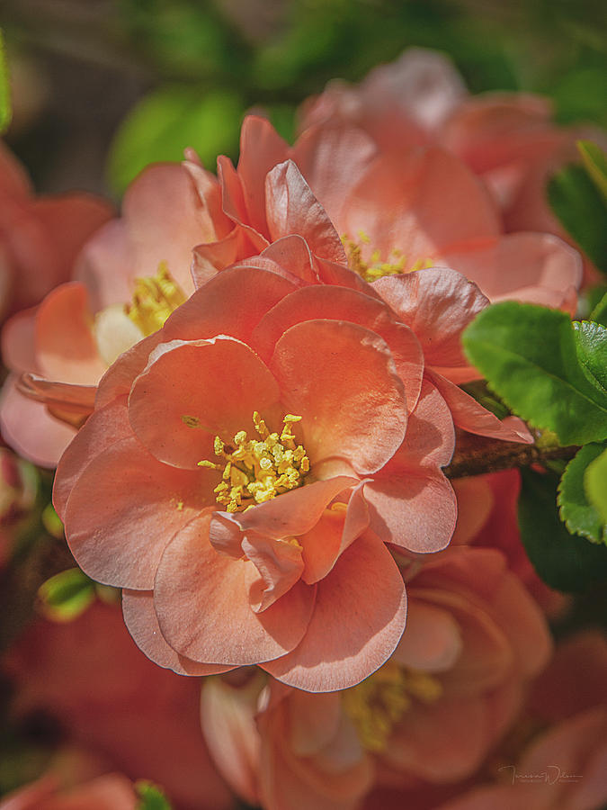 Flowering Quince Blossoms by TL Wilson Photography by Teresa Wilson