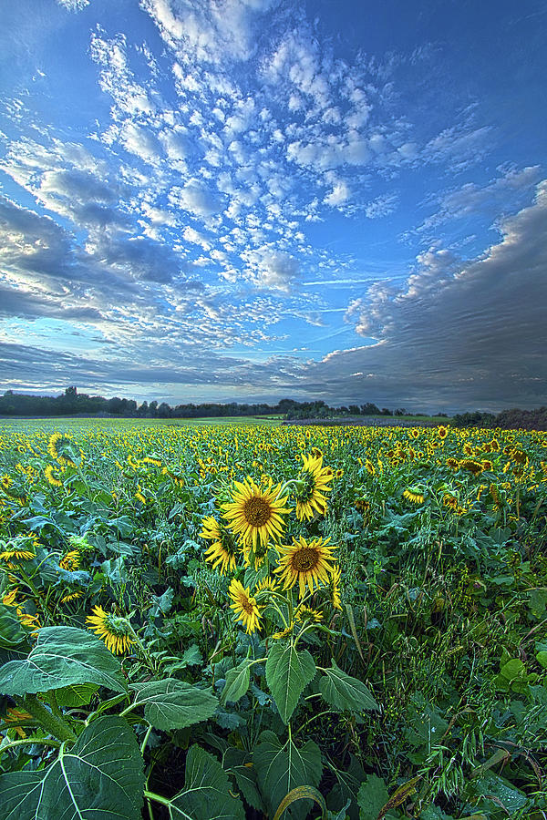 Sunflowers Photograph - Flowers Of The Sun by Phil Koch