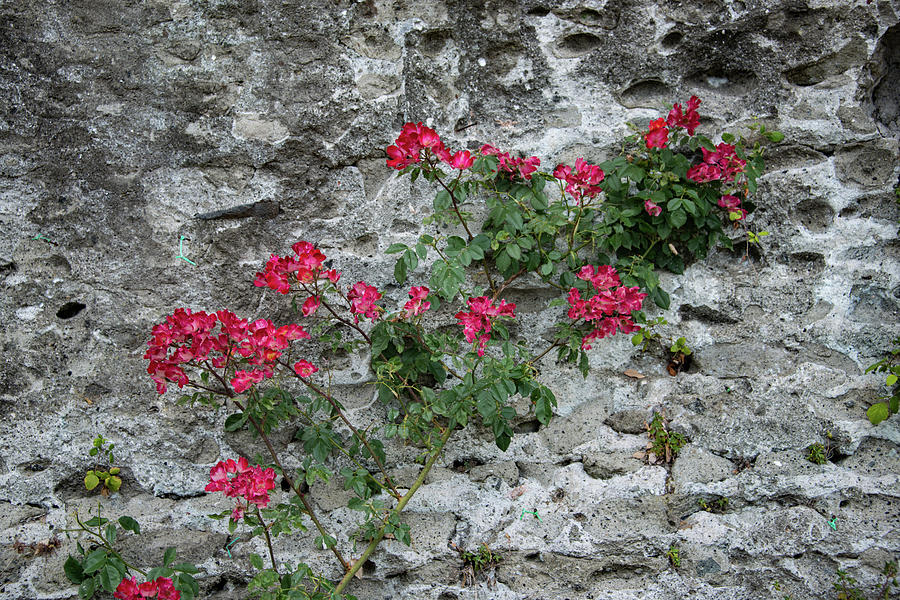 Alban Hills Photograph - Flowers On Stone by Joseph Yarbrough