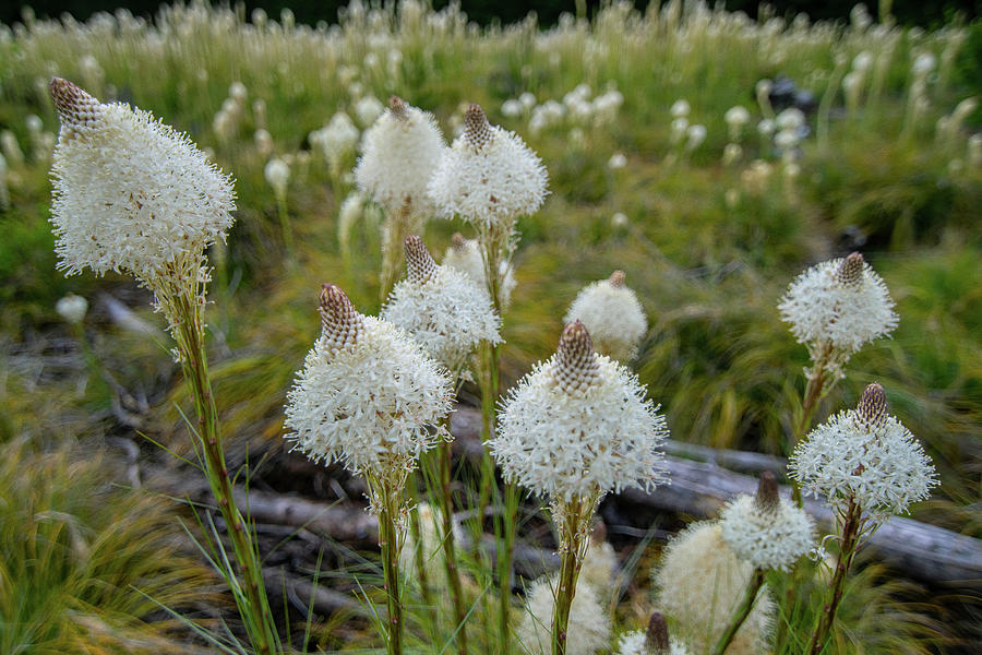 Flowerworks - Bear Grass Field by Matthew Irvin