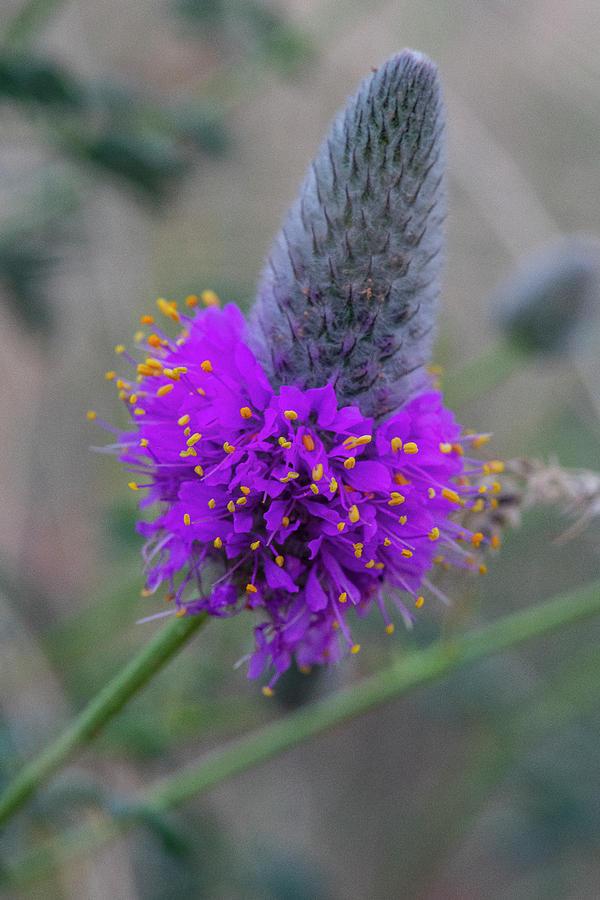 Flowerworks - Purple Prairie Clover by Matthew Irvin