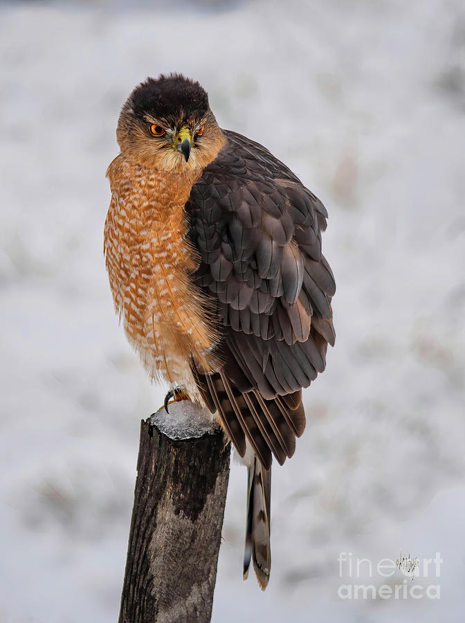 Fluffy Cooper's Hawk In Snow by Lois Bryan