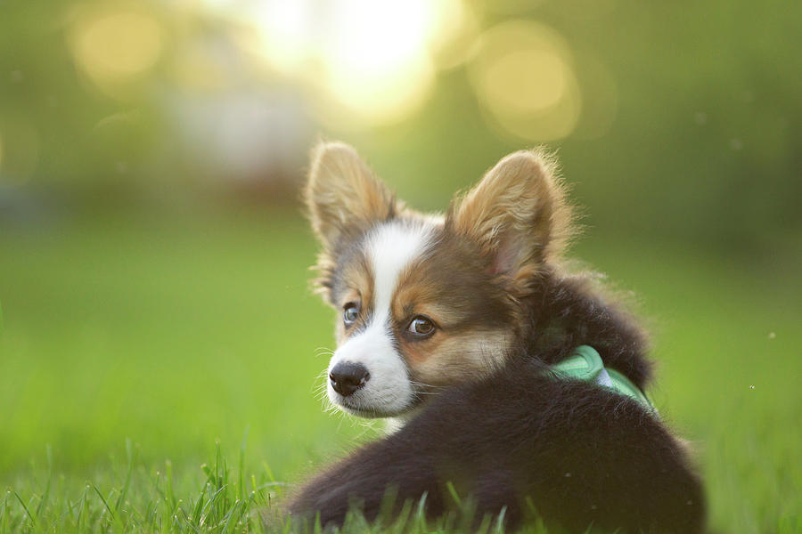 Fluffy Corgi Puppy Looks Back Photograph by Holly Hildreth